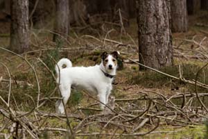 Terrier in Rendlesham Forest